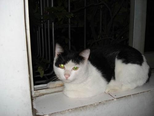 black and white cat with green eyes. lack and white cat with green