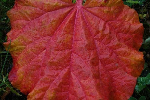 One big rhubarb leaf - The fall colur of a rhubarb leaf