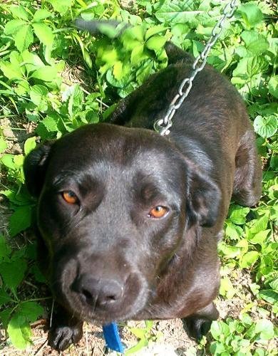 manertherotweiler - jdawgs dog maner the rotweiler / blue heeler who is friendly and loveable