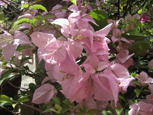 bougainvilla flower - bougainvilla also known as paperflower. they are really beautiful