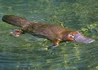 Platypus - A picture of a platypus.