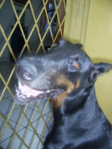 My dobberman pincher - My dobberman pincher, it's name is mona...:)
