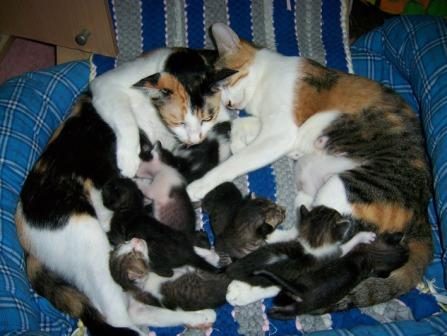 the two 1st time moms - In the photo, The two first mother feeding 7 kittens. Three-Color was on the right, busy licking her own boy and feeding Second's kittens. Second was still weak on her first week.