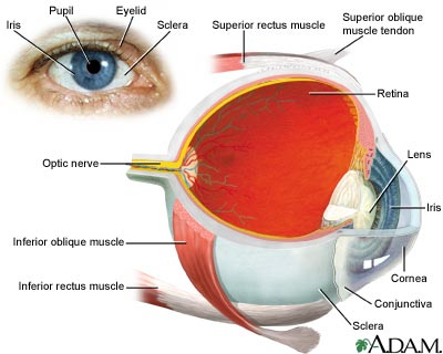 Eye - The Eye and its parts