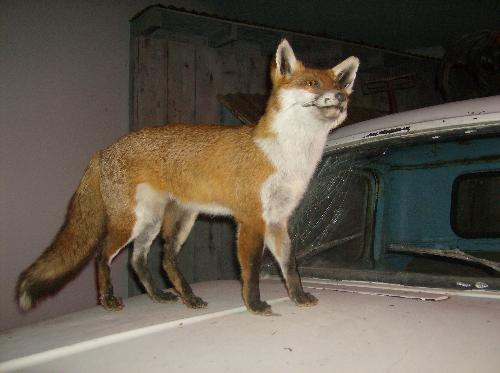 five legged fox - This is a picture of the five legged fox that we seen in the museum.