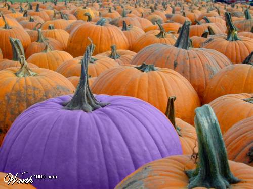 Purple Pumpkin - I found this purple pumpkin picture on the interet. It is hear just to show how odd a purple pumpkin looks. I recently bought pumkin leaf bags without looking closely enough, I got them home to discover some of them are purple. Wierd.