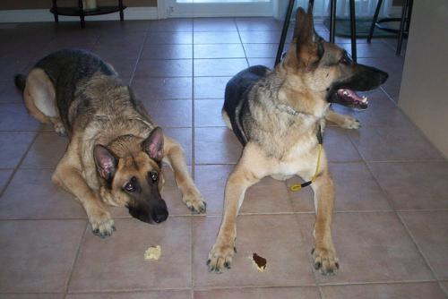 Dogs waiting for breakfast - Here are the two boys witing for their pancake breakfast.