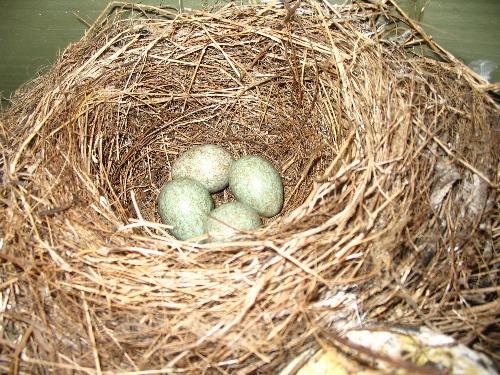 Wattle Bird eggs - The Wattle Bird in our carport laid four eggs