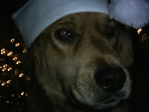 christmas pets - this is one of my christmas boys