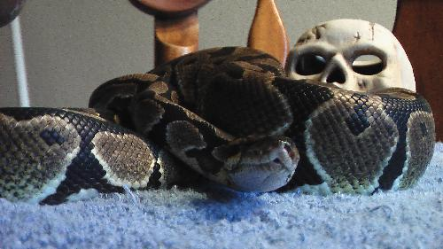 Reaper  - This is Reaper, an approximately 3 year ball python. Right now she's on a so far two month hunger strike, so hope she'll start eating soon.