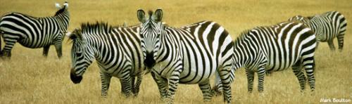 animal - zebra skin