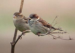 sparrows - 300 x 213 - 26k