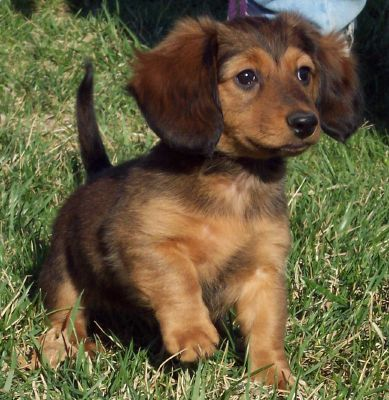 Tags: dachshund puppy , puppy , mini