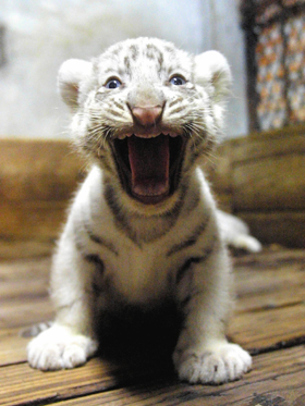 Beautiful baby white tiger