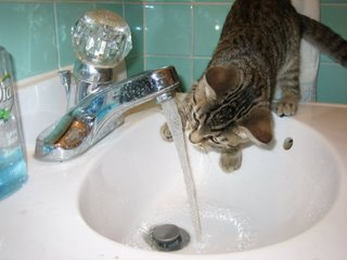 kitty drinking - drinking from a tap
