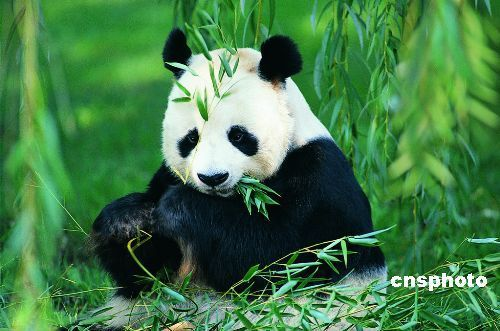 Chinese treasure Panda - Chinese treasure Panda,Wild Pandas are only live in China.