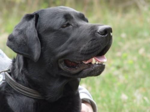 My spikey - A labrador dog !