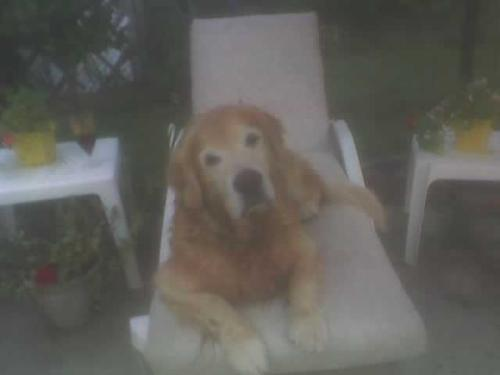Golden Retreivers - My dog on the patio furniture