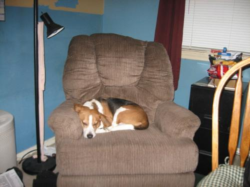 Awwww! So sweet looking. - He loves the recliner in the office TOO much.