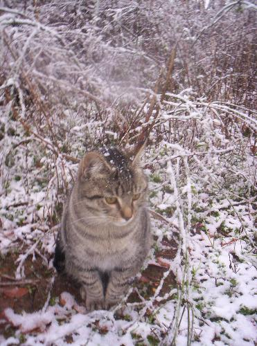 One of the cats in the snow. - One of my tabby cats in the snow trying to figure out what was going on.