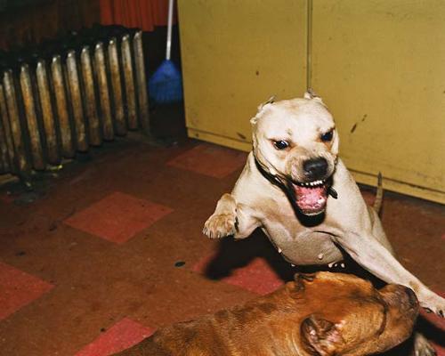 pitbull - Pitbull dog