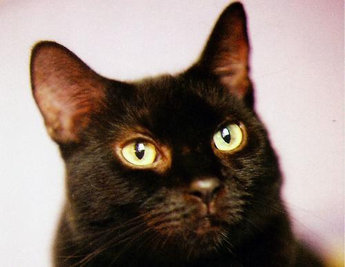 Picture of Pyewacket - image of Pyewacket, my black kitty