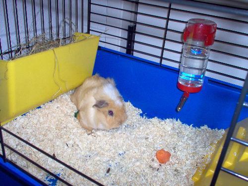 guinea pig - Bubble