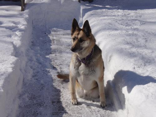 my dog with deep snow - too much snow for my dog to play