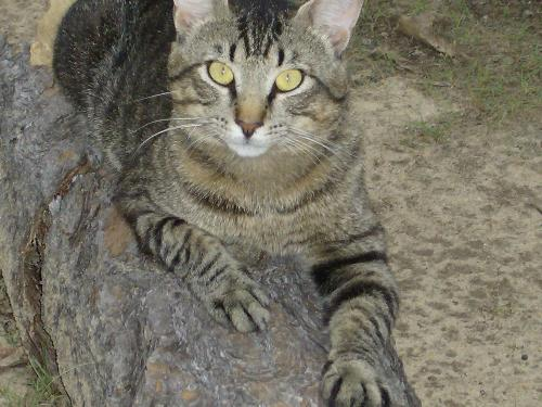 my cat tiger he is beautiful - i took this pic of my cat tiger hey loes the camera