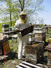 working with the bees - Searching for the Queen! Each Colony must have a Queen. She's the Mother Bee!