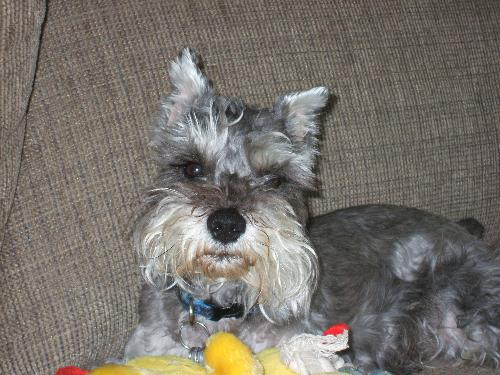 My sweetheart - Sunshine - Here is a pic of my 5 year old miniature schnauzer. His name is Sunshine! Nicknames - Crazy Dog... Turkey butt... Sunshine boy.