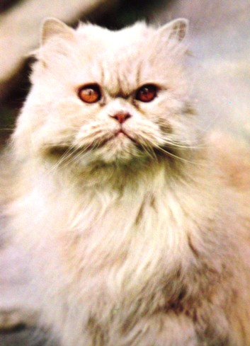 Persian cat - What are the true origins of Persian cat? Middle East or Western Europe?