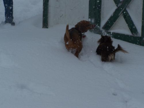 My Dogs - Izziy is my Beagle. Tody is my Long Hair Chihuahua