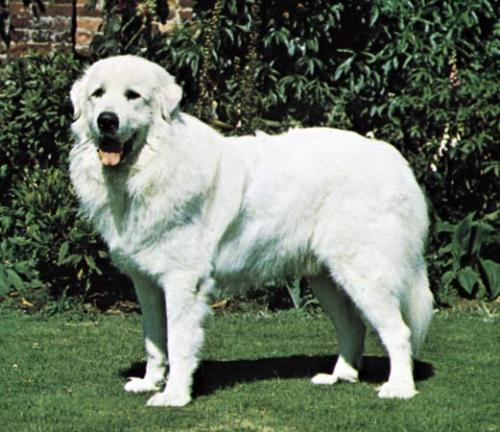 Great Pyrenees Dog - this is the type of dog I recently rescued, a Great Pyrenees