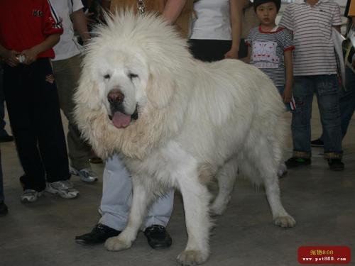 tibetan mastiff - white one