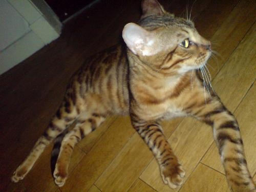 My Cat Leo - Brown Bengal - Picture of my 1 year old Brown Bengal Cat