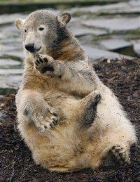 Knut the Polar Bear Today~~Called a Psycho Bear - image of the grown up polar bear, Knut