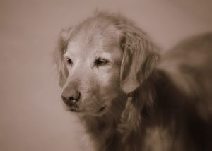 Golden retriever - Golden retriever, black and white photo.