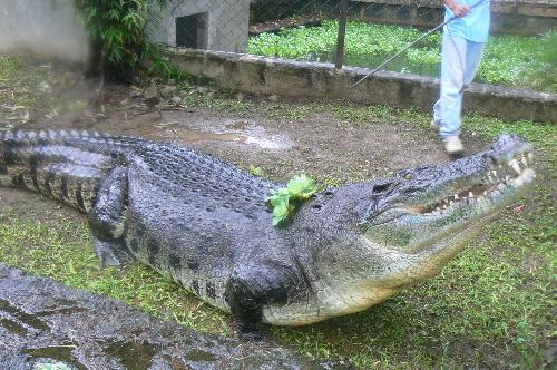 lapu lapu the 2nd largest crocodile of the philipp - at crocolandia talisay city cebu.