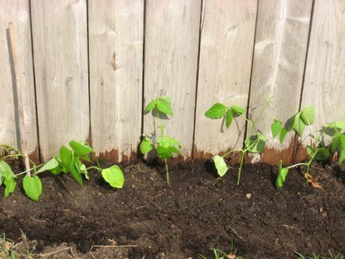 Pole Green Beans - I've finally had nice weather and planted them outdoors.