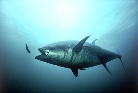 Tuna Fish - Tuna Fish