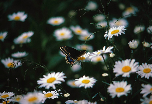 Here Is The Photo On the Oprah Website That is Min - my photo of an American Black Swallowtail Butterfly on Daisy