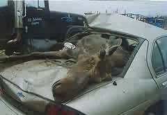moose accident - This moose came right through the car!