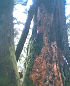 big old tree - by Mt Rainier at Ipsut campground.