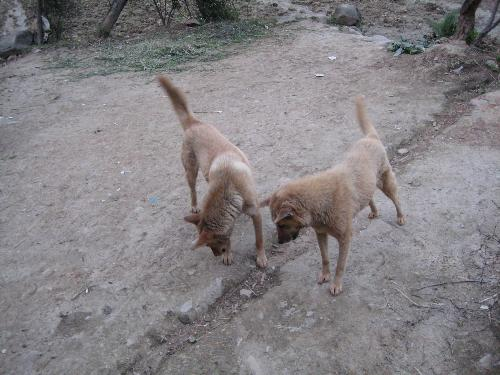 dogs in love - hehe, they must be lovers. See, they are open-eared to each other now!