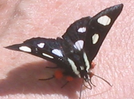 Pretty Little Butterfly Visitor -  This little guy decided he liked our company. Even when we put him down, he came back several times!