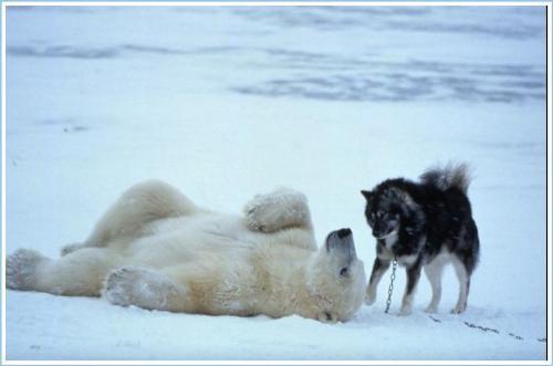 Polar Bear  - Polar plays with dogs