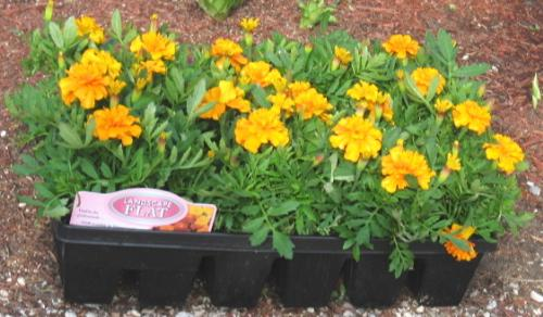 Marigolds - A flat for my flower bed