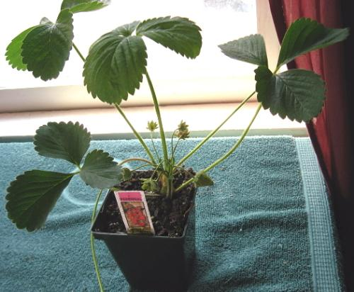 EverBearing - This is the newest addition to my strawberry patch. Planting it soon.