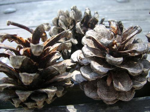 pine cones! - Happy Victoria Day weekend!